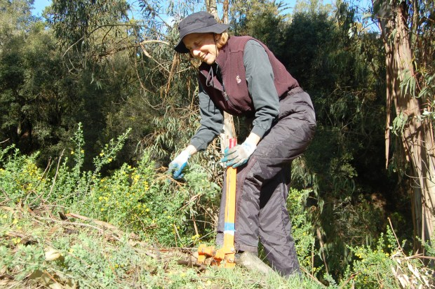 Sue Duckles, of the Butters Canyon Conservancy, pulls French broom during a March 17, 2018 service project on the Montclair Railroad Trail in the Oakland hills. (Darin Moriki/For Bay Area News Group)