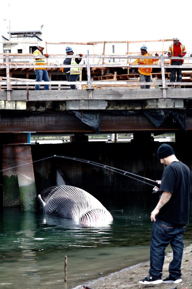 A baby whale washed up at the construction of the Embarcadero Road bridge in Oakland, Calif., on Friday, May 18, 2018. (Laura A. Oda/ Bay Area News Group)