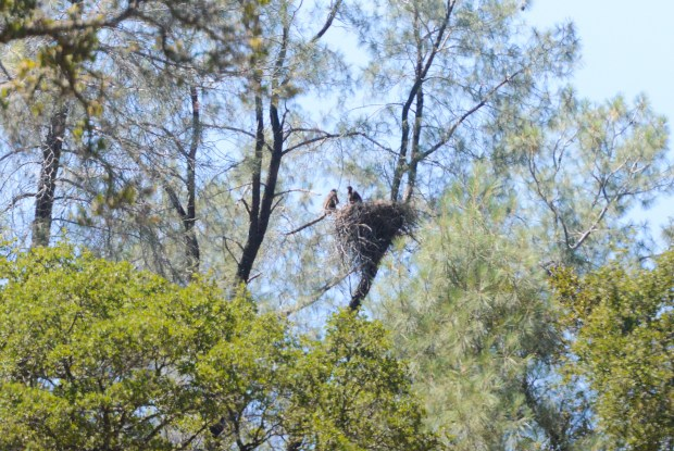 Two bald eagle nestlings can be seen in a tree by the diversion pool in Oroville, June 1, 2018,  in Chico, California. (Carin Dorghalli -- Enterprise-Record)
