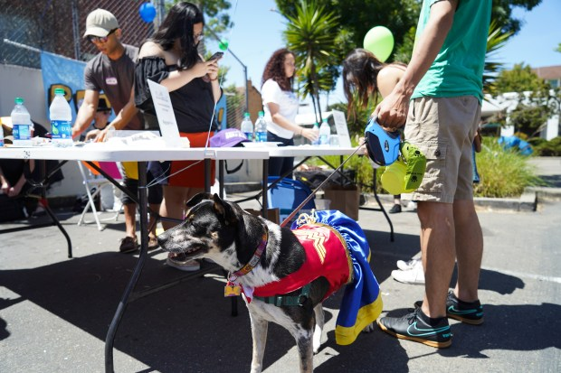 Australian cattle dog mix Mei Mei, 7, waits to be registered at the first annual Pet Parade during Sunday Streets on Shattuck Avenue in Berkeley, California on Sunday, June 3, 2018. (Photo by Don Feria for the East Bay Times.)