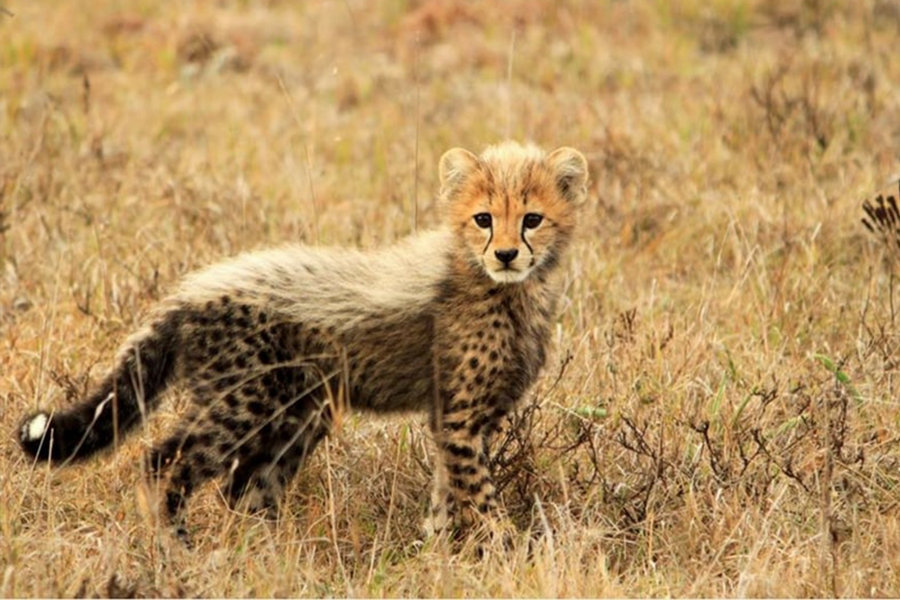 8 Day Eastern Cape Beach & Safari Package  Amakhala Game Reserve Wildlife Cheetah Cub