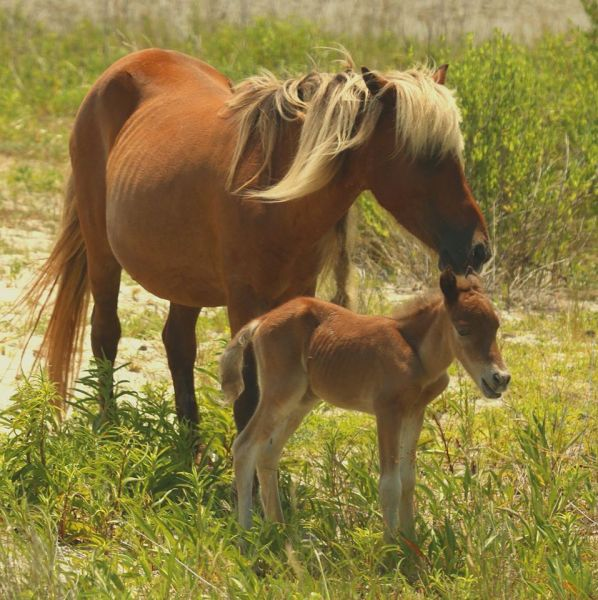 Shackleford-Banks-Horse-and-Foal2