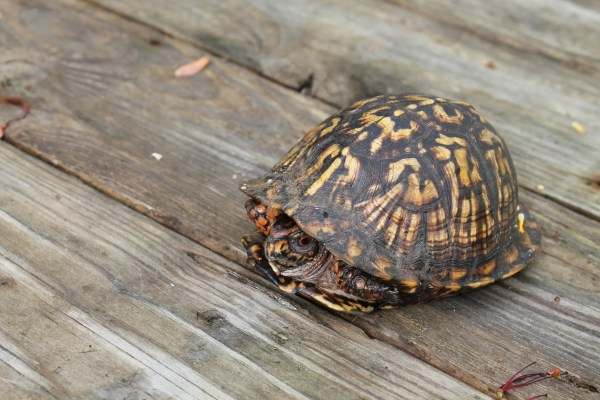 NC Eastern-Box-turtle