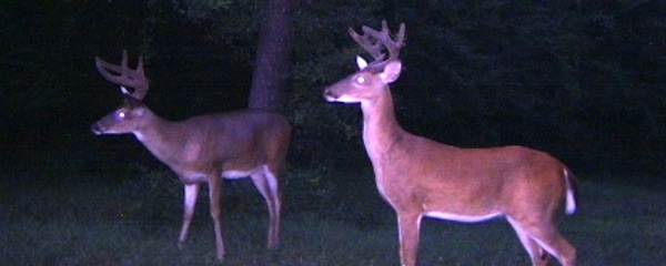 Deer have become so accustomed to humans on the East End that they often pose for photographs.
