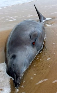 The adult whale that washed up in Southampton Sunday | courtesy Riverhead Foundation