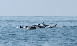Bottlenose dolphins | Riverhead Foundation photo
