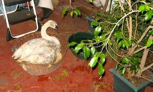 The Lone Swan of Goldsmith Inlet   Courtesy Rick Kedenburg