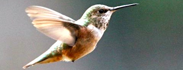 A rufous hummingbird in Richard Willott's Southold backyard   Courtesy Richard Willott