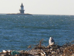A snowy owl at Orient Point | Eric Lamont photo