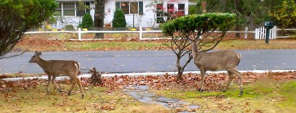 Deer have moved into town and Southold wants them out.