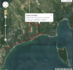 North Fork Bob was squarely in the thick of Downs Creek when his transmitter was last updated yesterday morning.