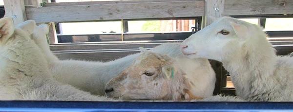 Sheep awaiting herding at the Long Island Fleece & Fiber Fair this weekend.