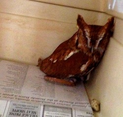 One of the Quogue Wildlife Refuge's owls demonstrates the proper use of newsprint during a storm.