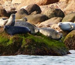 Seals enjoying the rocks on Plum Island. Photo credit Robert Lorenz.