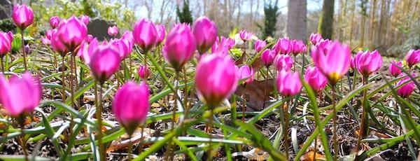 spring bulbs LongHouse
