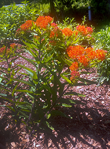Butterfly Weed in SoFo's Native Wildflower Garden