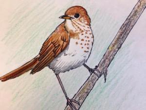 One of Olivia Bouler's many bird illustrations.