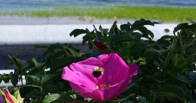 June road-end roses.