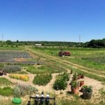 Amagansett's Amber Waves Farm