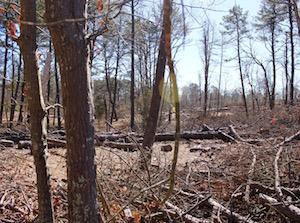 Felled trees in Hubbard County Park