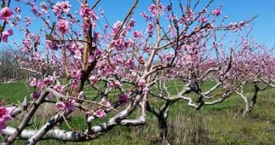 Mr. Wickham's peach trees, Tuesday.