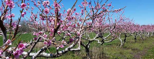 Mr. Wickham's peach trees, Tuesday.