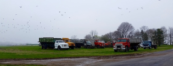 Seagulls, potato trucks, Cutchogue