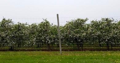 Milk Pail apple blossoms.