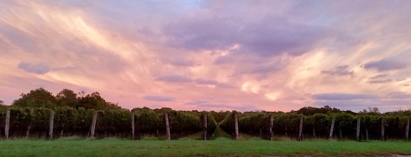 Sunset in the vineyards, Jamesport
