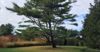 White pine (center) has a commanding presence at Bridge Gardens.