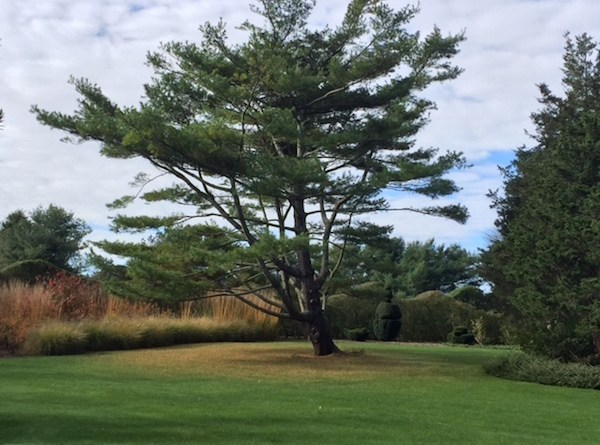 White pine (center) has a commanding presence at Bridge Gardens.