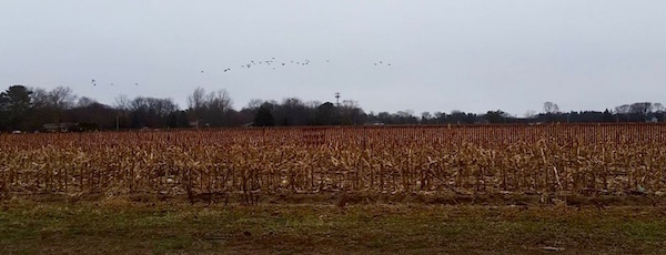 Winter corn, Cutchogue