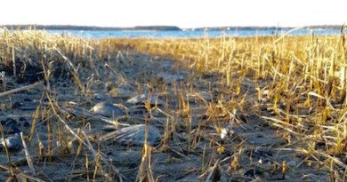 Sunday scallops, Flanders Bay