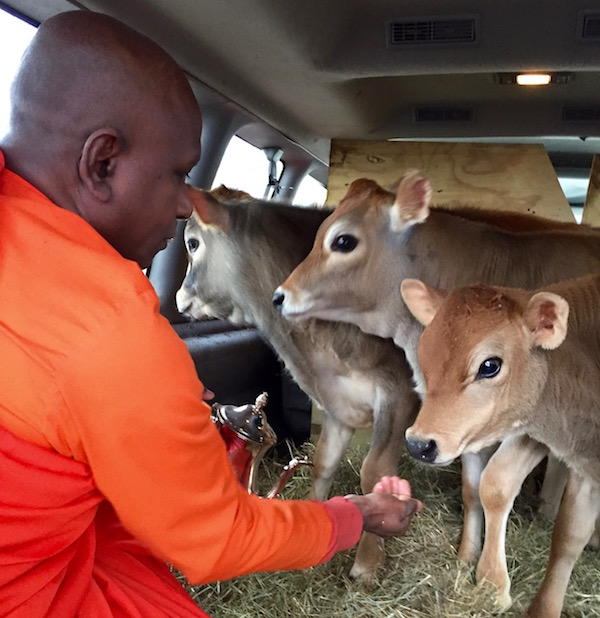 Venerable Bhante Kottawa Nanda of the Long Island Buddhist Meditation Center in Northville blesses four calves before their journey to the Indraloka Animal Sanctuary