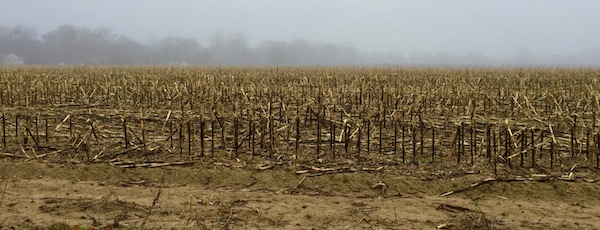 Last Year's Corn, Fog, Cutchogue