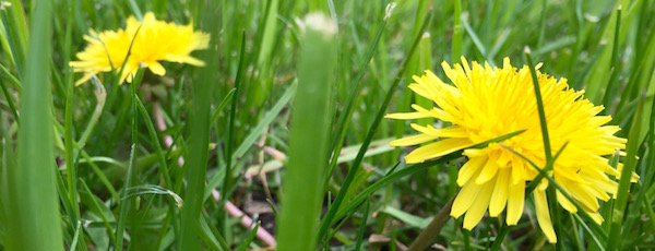 A sure sign of spring, and a boon to pollinators, the dandelion is to be embraced.