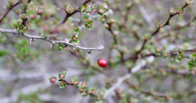 Berry, Buds, Peconic Riverfront.