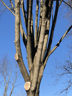 A Bradford pear that has been pruned multiple times to compensate for limb weakness caused by its nearly vertical branches and narrow angles