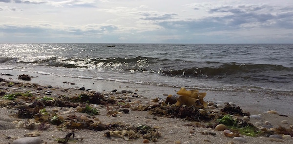 Kelp on the Sound