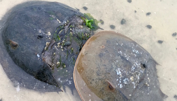 Horseshoe crabs caught in the act at Pike's Beach in Westhampton in late May.