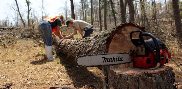 A recently-felled pine beetle-infested tree in Hubbard County Park.