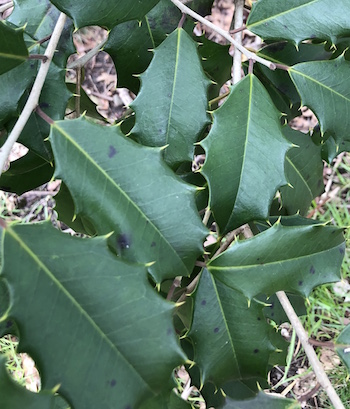 The American holly (Ilex opaque), a native evergreen, is an important food source and shelter for many bird species in the winter.