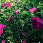 Rugosa roses, such as 'Hansa,' perform well on Long Island and can withstand harsh conditions.