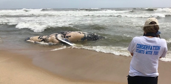 A deceased humpback was discovered whale washed up in Napeague Thursday morning.   Atlantic Marine Conservation Services photo