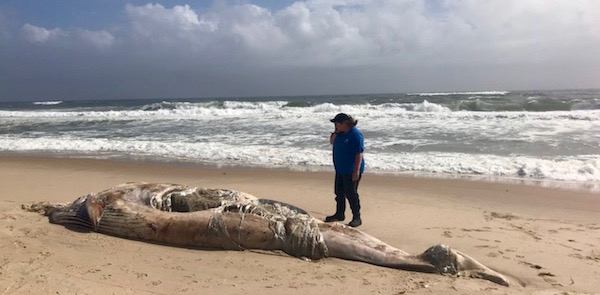 A second dead whale has washed up on a beach in East Hampton this week. | Photo Courtesy Atlantic Marine Conservation Society