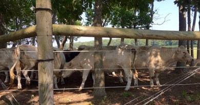 McCall's Cows, Thursday