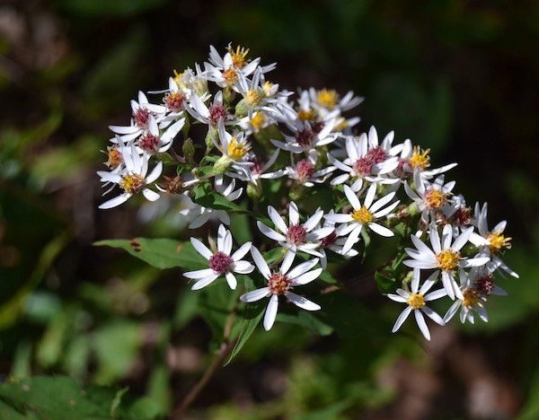 Native wood aster provides a pleasing pop of white late in the season