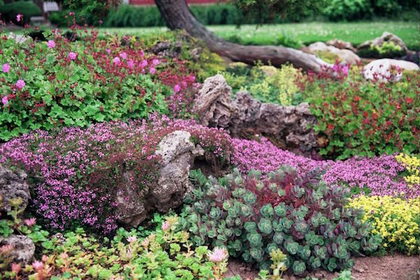 Several sedum species mingle with thyme and geranium to form a pleasing garden tableau.