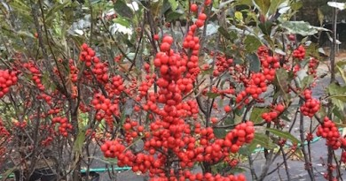 Winterberry's fruit is both beautiful and beneficial to sustaining wildlife.