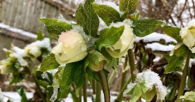 Hellebores add much-needed winter interest to the garden— even snow can't smother their beauty | Susan Tito photo
